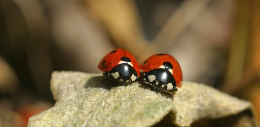 where to buy lady bugs