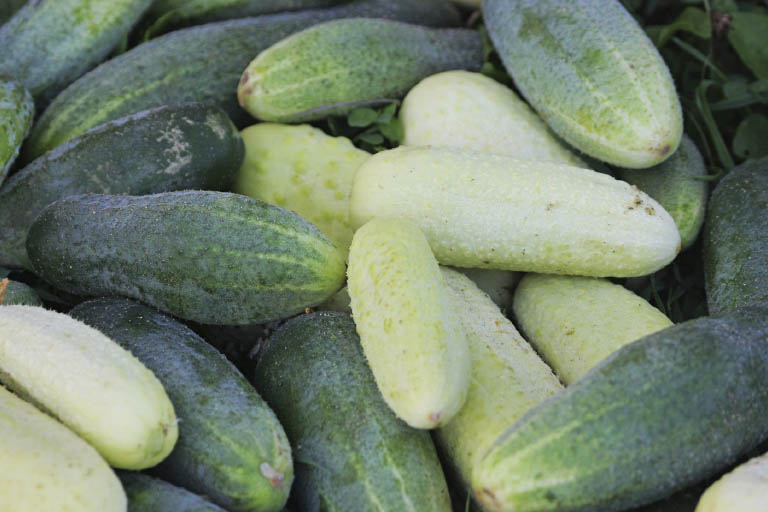 How many different types of cucumbers could there be