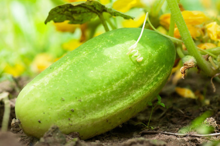 Picking and Planting The Right Cucumber