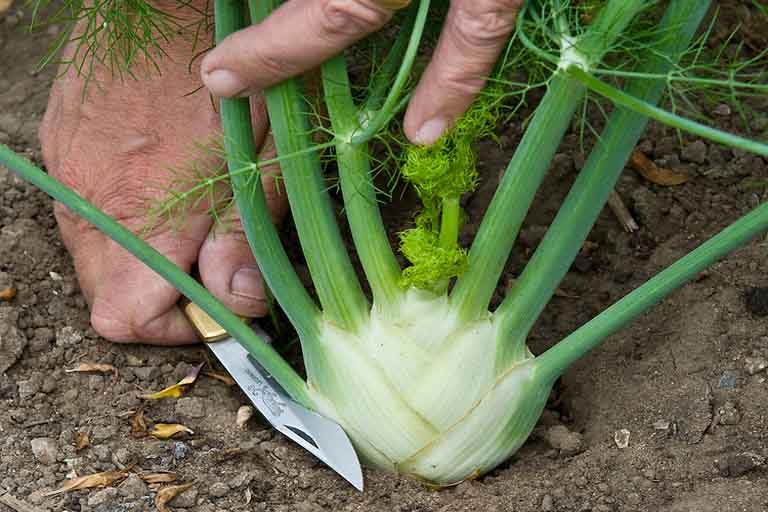 Harvesting wild fennel
