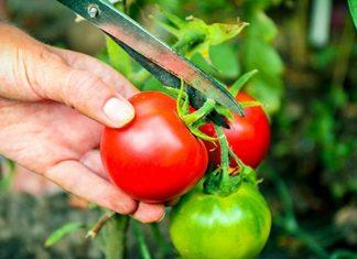 Organic Gardening: Harvesting Organic Tomatoes