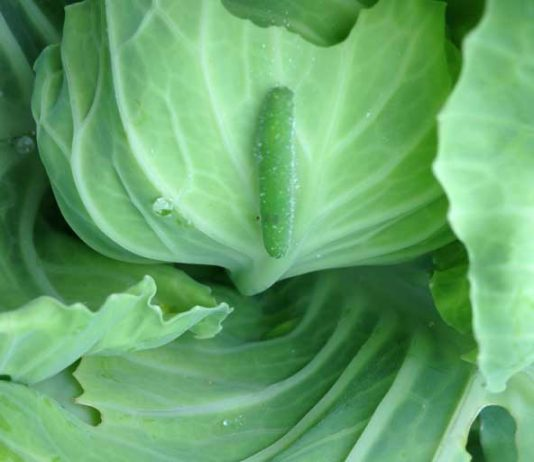 getting rid of cabbage worms