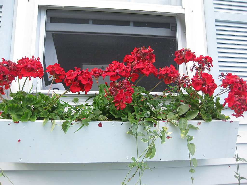 windowbox with red flowers