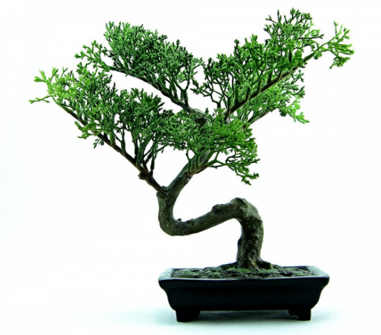 japanese dwarf bonsai