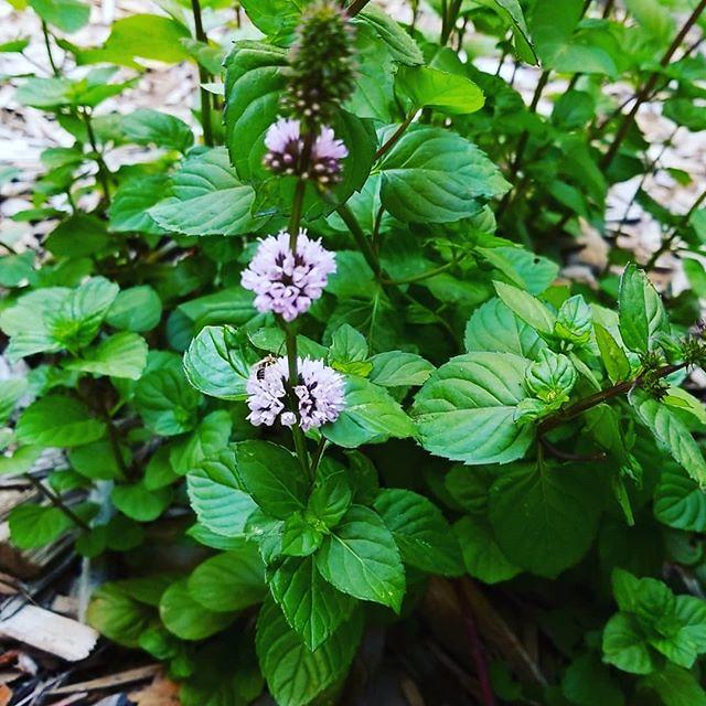 flowering orange mint plant