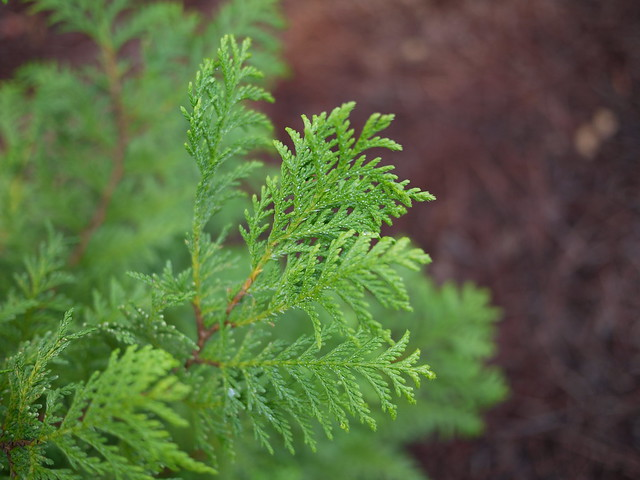 False cypress plant
