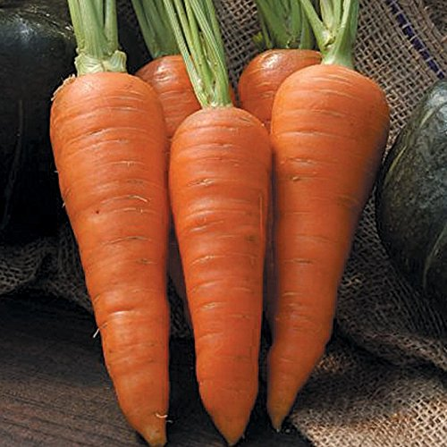 Open-pollinated Carrot