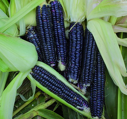 Open-pollinated Corn