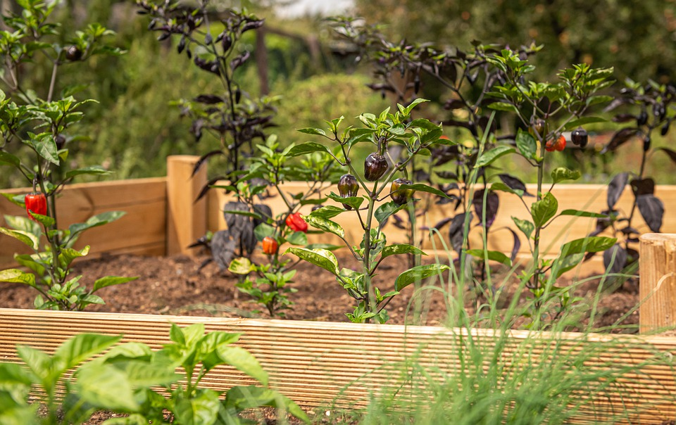 Raised Garden with chili plants