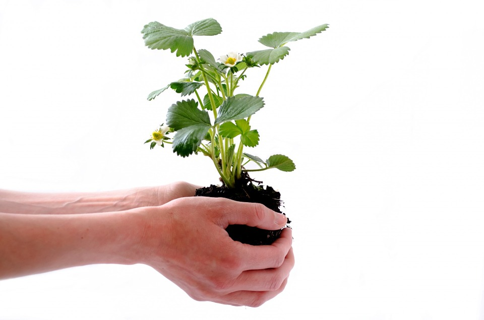 Someone holding plant with soil for gardening