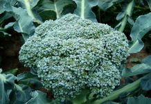 broccoli plants