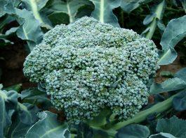 broccoli plants