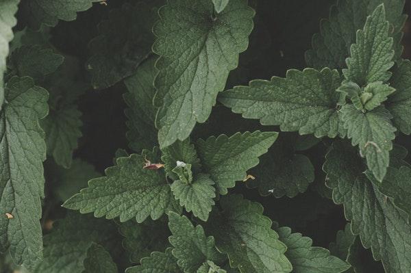 dark mint leaves