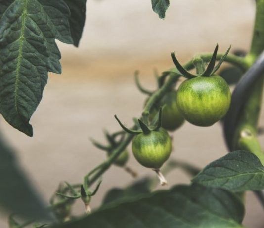 round green tomato