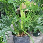 Philodendron selloum plant on a small pot