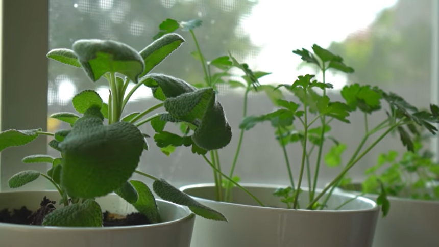 three potted herb plants sitting in a window