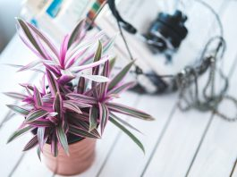 One of the easiert beginner houseplants to grow, with pink and green leaves.