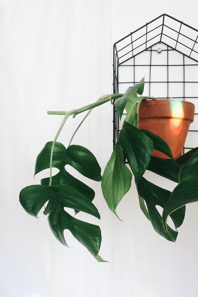A Rhaphidophora tetrasperma in a wall planter